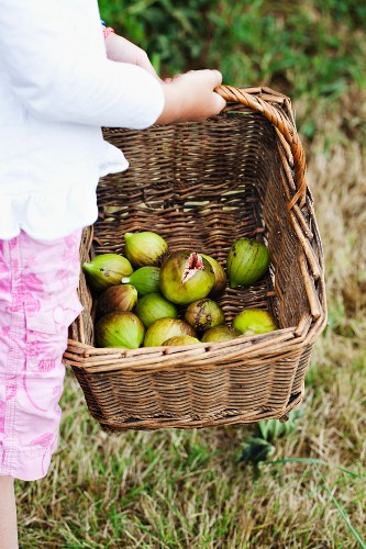 A child holding a basket of fresh figs in the garden