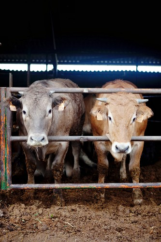 Cows looking out of the stall
