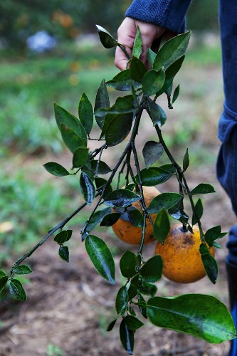A hand holding a branch with oranges