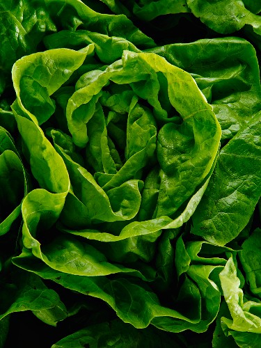 Fresh head of lettuce (Close up)