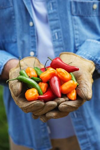 Hispanic man holding peppers