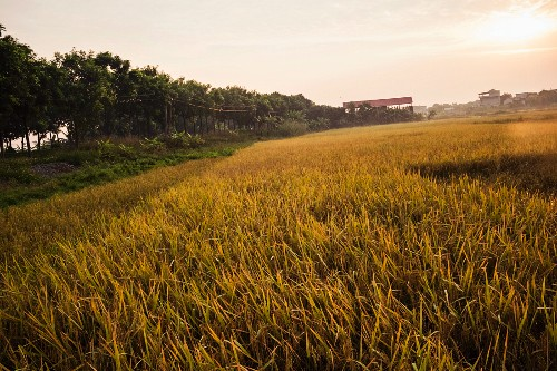 Golden rice fields in the early morning in Ninh Binh, Vietnam