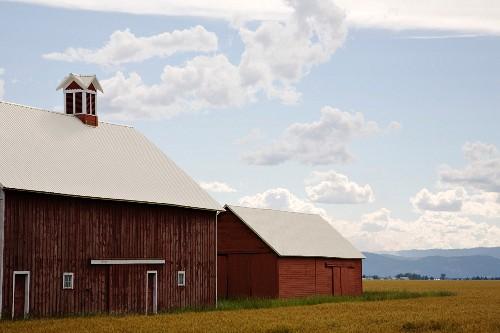 Barns in a Wheat Field