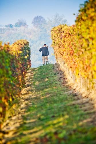 Man Working in Vineyard, Italy
