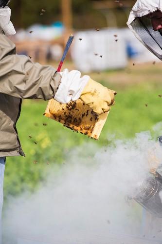 Beekeepers Smoking Beehive to Remove Honeycombs