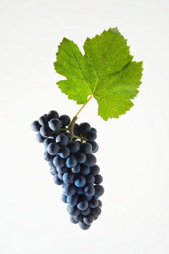 Pinot noir grapes with a vine leaf