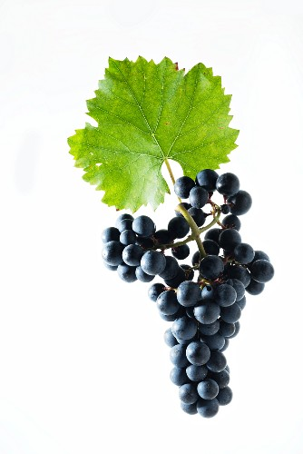 Acolon grapes with a vine leaf, new breed, cross between Dornfelder und Lemberger grapes