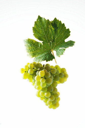 Scheurebe grapes with a vine leaf