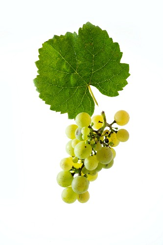 Räuschling grapes with a vine leaf