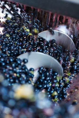 Rote Weintrauben fallen nach dem Entrappen in Schneckengang