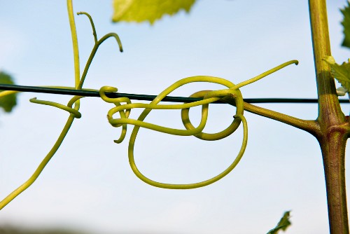 A detailed shot of a twisted vine