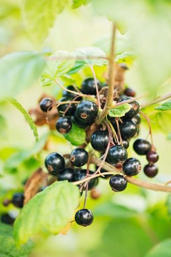Blackcurrants (Ribes nigrum) on a bush