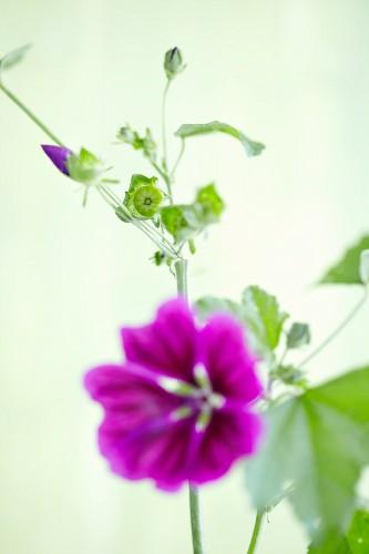 Flowering wild mallow flower