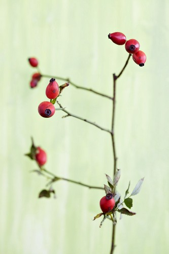 Rosehips (rosa canina) on a twig