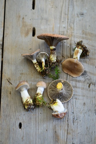 Slimy spike-cap mushrooms (Gomphidius glutinosus)