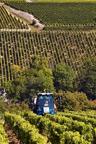 Rebstöcke werden maschinell entblättert vor der Weinlese von Sauvignon Blanc Trauben im Weinberg Domaine Lucien Crochet (Bue, Cher, Frankreich)