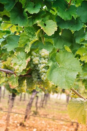 Riesling grapes between vine leaves