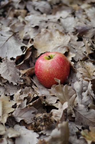 A red apple in autumn leaves