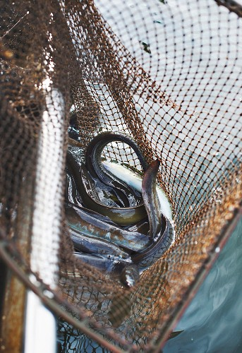 Eels being caught at Lake Neuendorf (Spreewald, Germany)