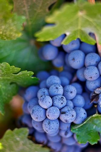 Cabernet Sauvignon grapes on a vine