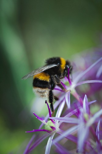 A bumblebee on a purple flower