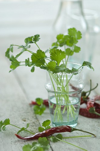 Fresh coriander in a glass of water next to chilli peppers
