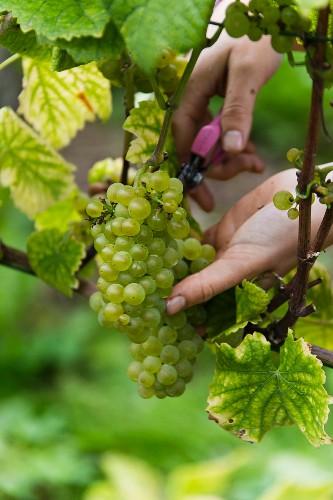 Grape harvest at the Franzen vineyard, Bremm, Rhineland Palatinate, Germany (type of grape: pinot blanc)