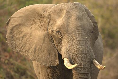 Elefant in freier Wildbahn, Afrika
