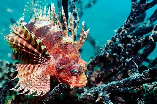 Dwarf lionfish on a reef