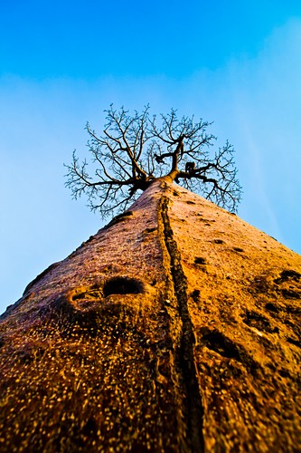Baobab tree,Madagascar