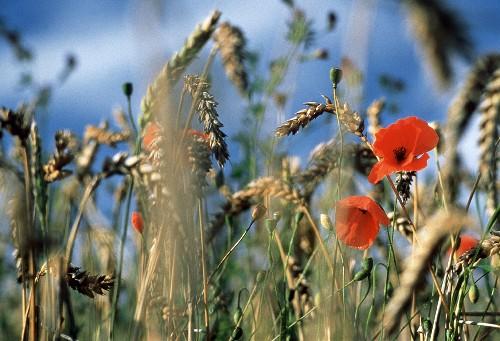 Wheat Field with Field Poppy