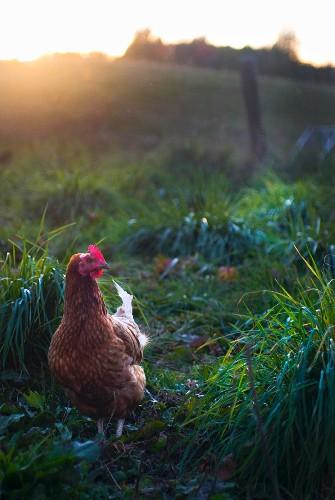 A free-range chicken
