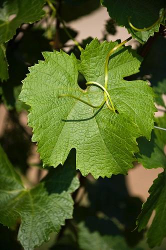 A vine leaf on a vine (cultivar: Zweigelt)