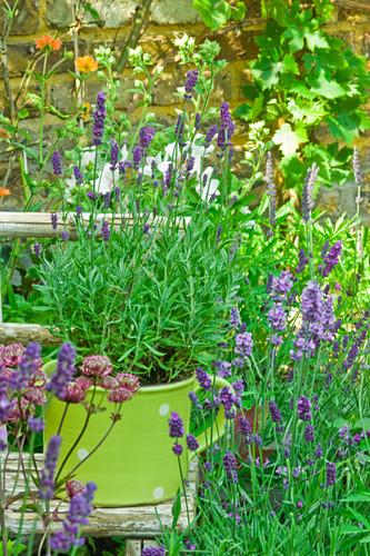 Lavender in a herb pot in a garden