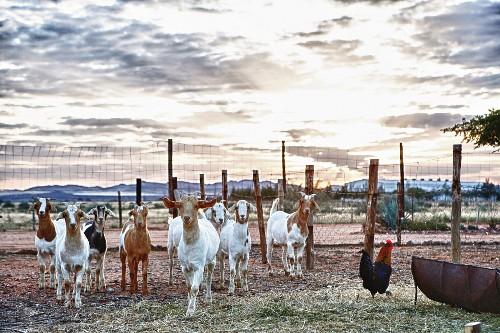 Ziegen auf einem Bauernhof