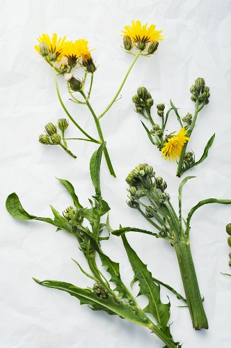 Smooth hawksbeard and rough hawksbeard