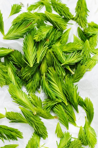 Light green spruce shoots