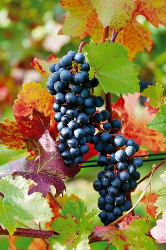 Red wine grapes on a vine, Bad Neuenahr-Ahrweiler, Rhineland Palatinate, Germany