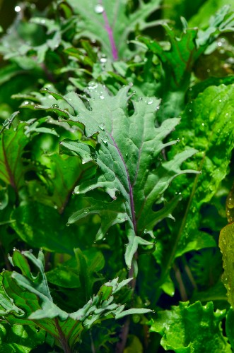 Fresh Mesclun Greens