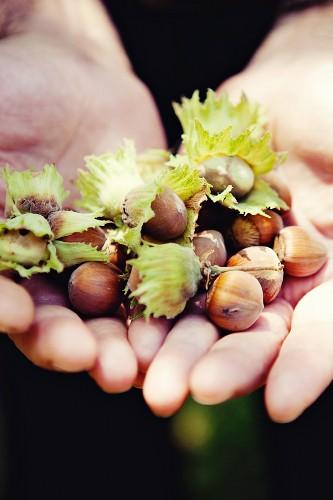 Hands holding fresh hazelnuts