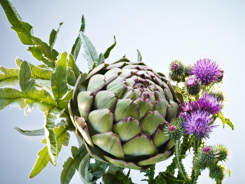 An artichoke with thistle flowers