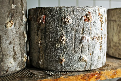 Goat's cheese with ash on a shelf in a ripening cellar (Austria)