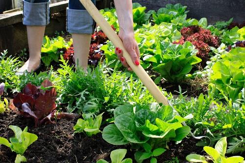 Eine Frau mit Harke lockert den Boden eines Salatbeets