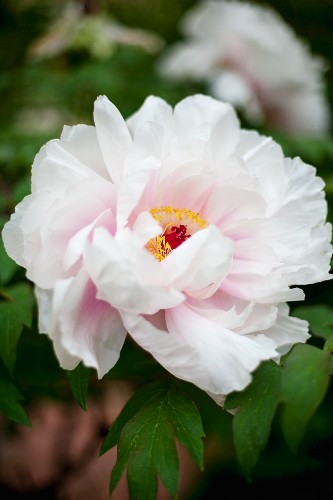 A scented peony