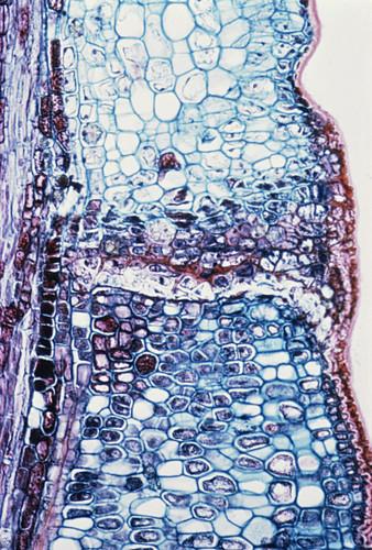 LM of Dicotyledon leaf (Sambucus)
