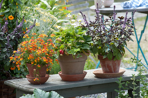 Pots in row on bench, Nemesia Sunsatia Plus 'Clementine'