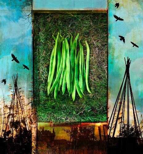 Frische, grüne Stangenbohnen aus dem Gemüsegarten