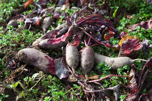 Forono beetroots in a field, partially eaten by deer