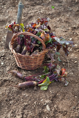 Forono beetroots in a basket in a field