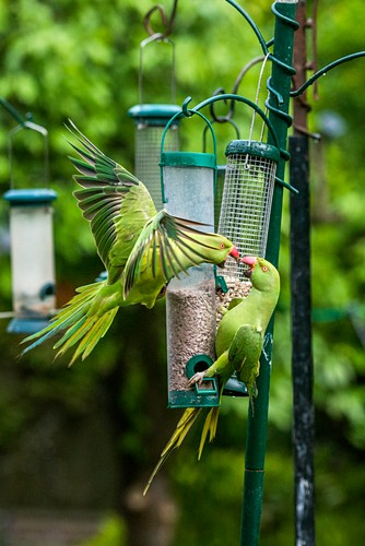 Ring-necked parakeets on bird feeders